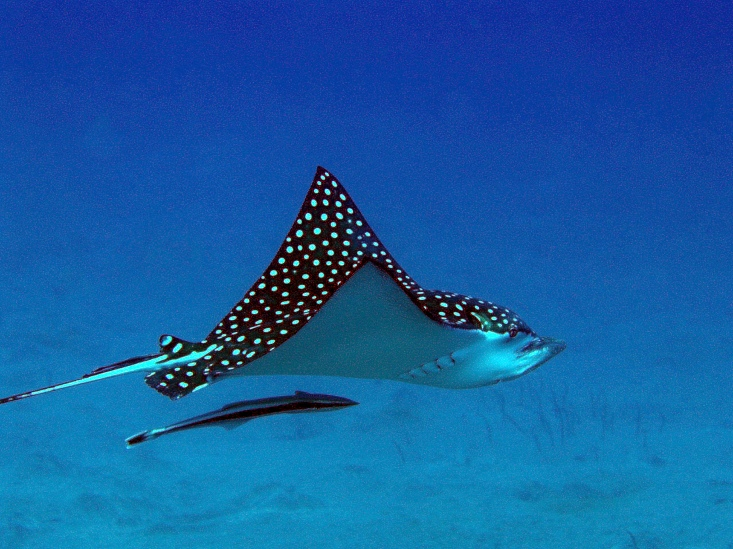 brenda s and r duncan kirkby - spotted eagle ray